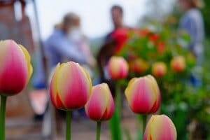 This is a piture of tulips, signaling springtime.